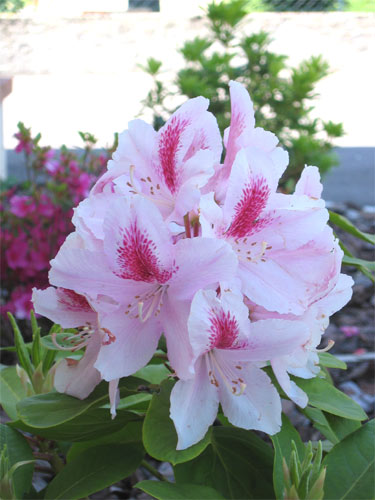 rhododendron muratet